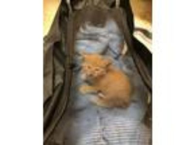 Adopt Simba a Orange or Red Tabby Domestic Longhair cat in Orlando