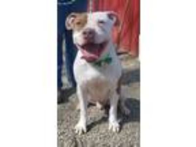 Adopt Hydro 260 a Pit Bull Terrier
