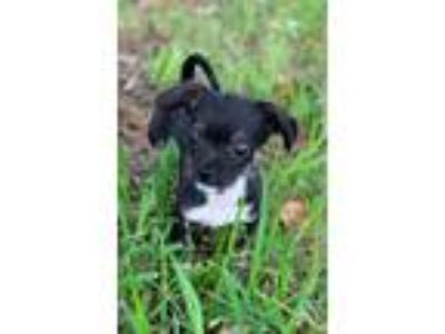 Adopt Rumba CG in MS a Shih Tzu, Miniature Pinscher