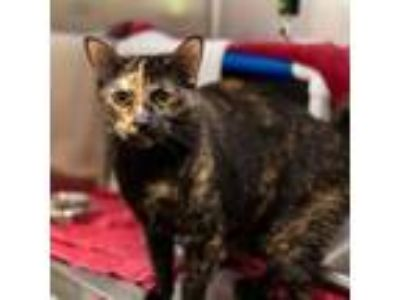 Adopt Kendra a Domestic Short Hair
