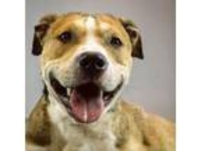 Adopt Patches a Brown/Chocolate American Pit Bull Terrier / Mixed dog in
