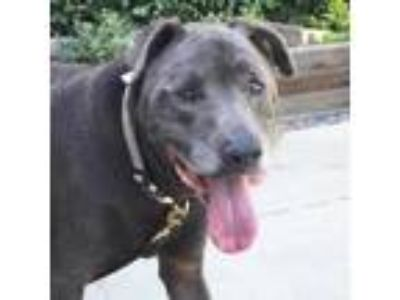 Adopt Dino a Gray/Silver/Salt & Pepper - with Black Labrador Retriever /
