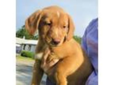Adopt Baby Fern a Labrador Retriever / Beagle / Mixed dog in Potomac