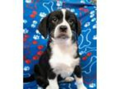 Adopt Willa a Beagle