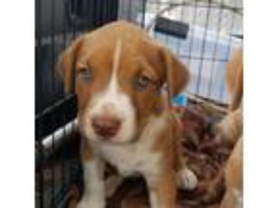 Craigslist - Dogs for Adoption Classifieds in Chickasha