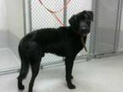 Adopt BECKER a Black Labrador Retriever / Mixed dog in Statesville