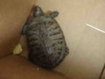 Adopt RALPH a Turtle - Other / Mixed reptile, amphibian, and/or fish in Van