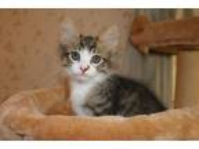 Adopt Triton a Domestic Short Hair