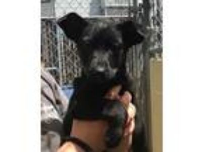 Adopt DAFFODIL a Border Collie, Terrier