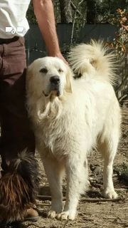 75% Great Pyrenees 9 months old FREE to good homes!