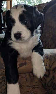 Miniature Bernedoodle-Bernese Mountain Dog Mix PUPPY FOR SALE ADN-82371 - Beautiful MINI BERNADOODLE Puppies