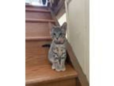 Adopt Ashely a Gray, Blue or Silver Tabby American Shorthair / Mixed cat in