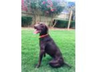 Adopt Ruby a German Shorthaired Pointer