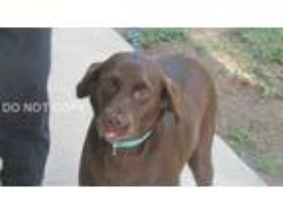 Adopt Sophie a Chocolate Labrador Retriever