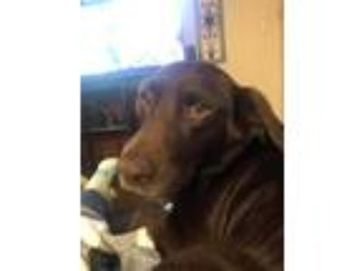 Adopt Harley a Brown/Chocolate Labrador Retriever dog in Peyton, CO (25241749)
