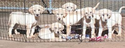 Labrador Retriever PUPPY FOR SALE ADN-103149 - AKC Yellow Labrador Retriever Puppies