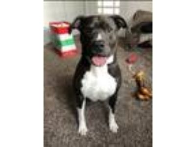 Adopt Quentin (BC) a Pit Bull Terrier
