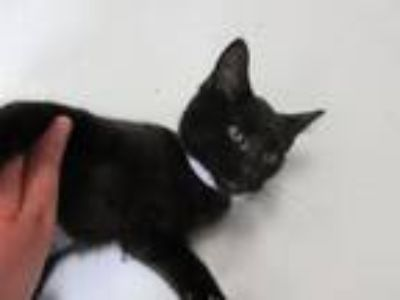 Adopt Eowyn a Domestic Short Hair