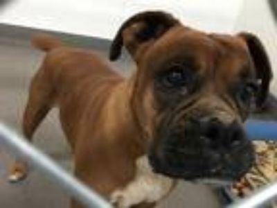 Adopt SADIE a Brown/Chocolate Boxer / Mixed dog in Hesperia, CA (25901855)