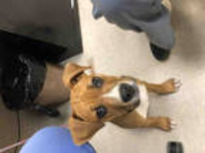 Adopt BINNINGTON a Tan/Yellow/Fawn - with White Boxer / Mixed dog in Olivette