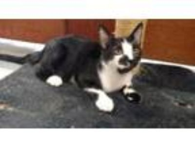 Adopt THOMAS a Domestic Short Hair