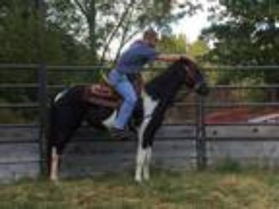 4 yr old Spotted Saddle Horse Mare