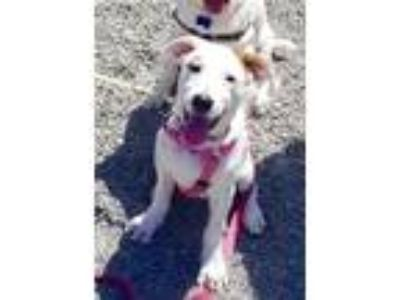 Adopt Rocket a White - with Black Australian Cattle Dog / Mixed dog in Milpitas