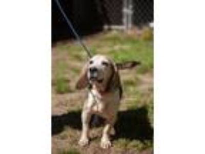 Adopt Sophie a Tricolor (Tan/Brown & Black & White) Beagle / Mixed dog in