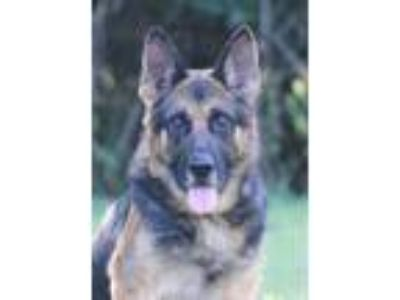 Adopt Turbo a Black - with Tan, Yellow or Fawn German Shepherd Dog / Mixed dog