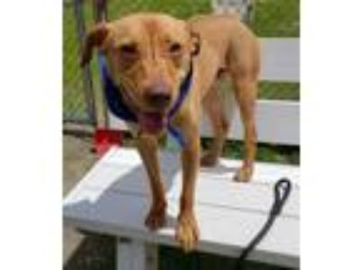 Adopt Happy a Brown/Chocolate Pit Bull Terrier / Mixed dog in Arlington