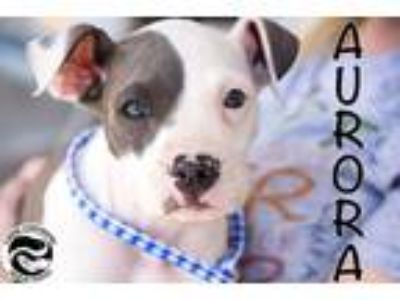 Adopt Aurora a White - with Gray or Silver American Pit Bull Terrier / Pit Bull