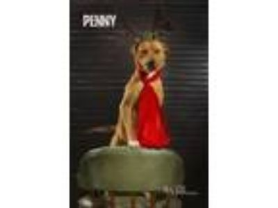 Adopt Penny a Red/Golden/Orange/Chestnut Labrador Retriever / American Pit Bull