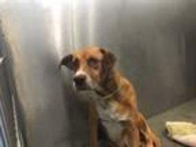 Adopt LOUCA a Brown/Chocolate - with White German Shepherd Dog / Mixed dog in
