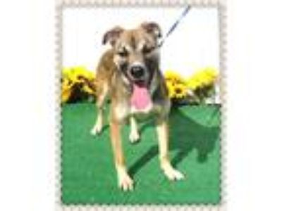 Adopt GUMBALL a Tricolor (Tan/Brown & Black & White) German Shepherd Dog / Mixed