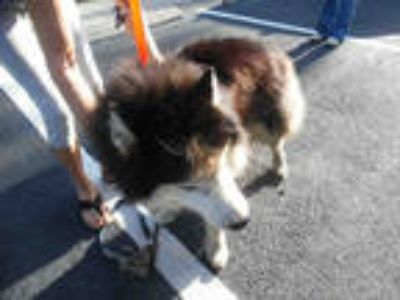 Adopt ROCKY a Black - with White Alaskan Malamute / Mixed dog in Fort Myers