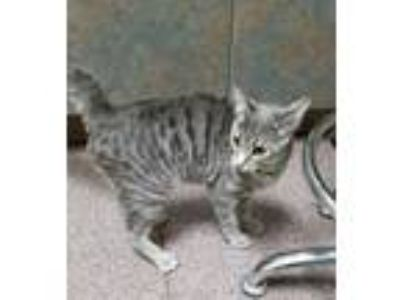 Adopt Dally a Gray or Blue Domestic Mediumhair / Domestic Shorthair / Mixed cat