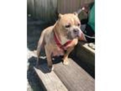 Adopt Diva a American Staffordshire Terrier