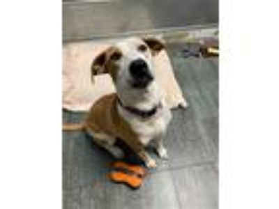 Adopt Chloe a White - with Red, Golden, Orange or Chestnut Boxer / Mixed dog in