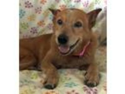 Adopt Angelica TX a Red/Golden/Orange/Chestnut - with White Australian Cattle