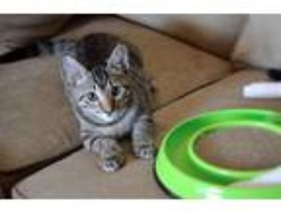 Adopt Twix a Brown Tabby Domestic Shorthair (short coat) cat in Lake Mary
