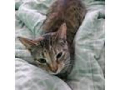 Adopt Carlie a Domestic Short Hair