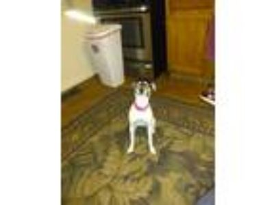 Adopt Bella a Tricolor (Tan/Brown & Black & White) Jack Russell Terrier dog in