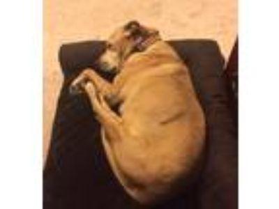 Adopt Bailey a Tan/Yellow/Fawn Labrador Retriever / American Pit Bull Terrier /
