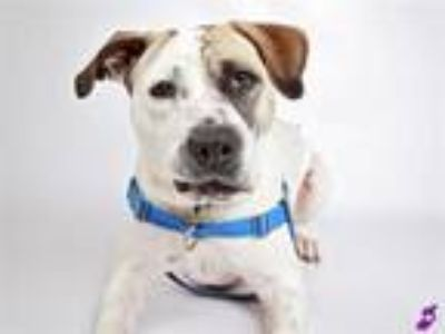 Adopt HOLLY a Pit Bull Terrier, Mixed Breed