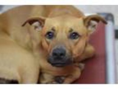 Adopt SEDER * a Pharaoh Hound, Mixed Breed