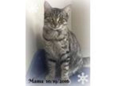 Adopt Mama a Tan or Fawn Tabby Domestic Shorthair (short coat) cat in Plant