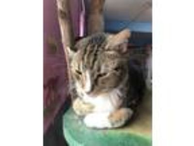 Adopt Jessica a Domestic Short Hair