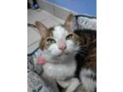 Adopt ISSY a Brown Tabby Domestic Shorthair / Mixed (short coat) cat in