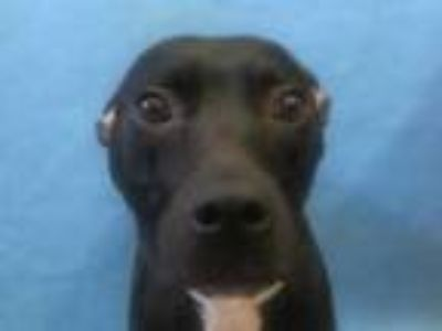 Adopt Ava a Black American Pit Bull Terrier / Mixed dog in Golden Valley