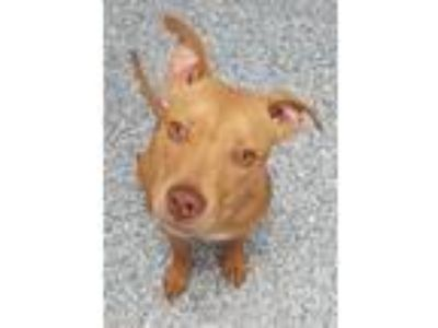 Adopt Domino a Pit Bull Terrier / Mixed dog in Angola, IN (25313581)